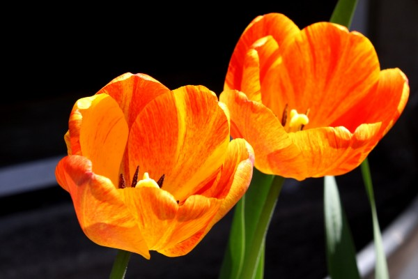 Two Orange Flame Tulips - Free High Resolution Photo