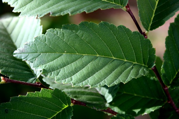 Elm Leaf Close Up - Free High Resolution Photo