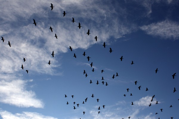 Flock of Geese - Free High Resolution Photo