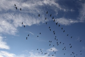 Geese Flying in the Sky - Free High Resolution Photo