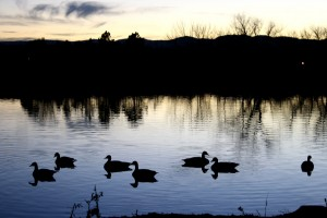 Geese Silhouetted Against Water at Dusk - Free High Resolution Photo
