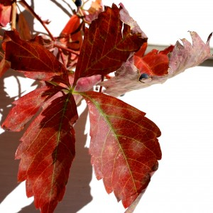 Red Virginia Creeper Leaf - Free High Resolution Photo