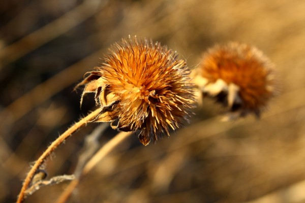 Round Wildflower Seed Head - Free High Resolution Photo