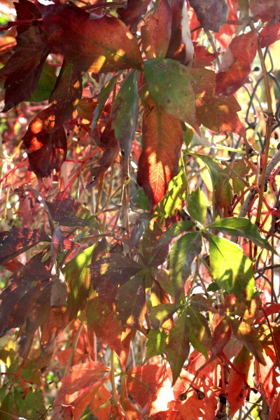 Sunlight on Red Virginia Creeper Vine Leaves - Free High Resolution Photo