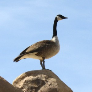 Canadian Goose - Free photo