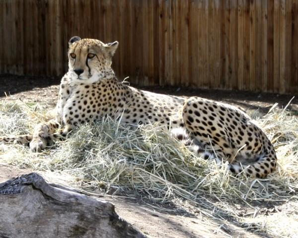 Cheetah - Free photo