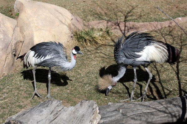 Gray Crowned Cranes - Free high resolution photo