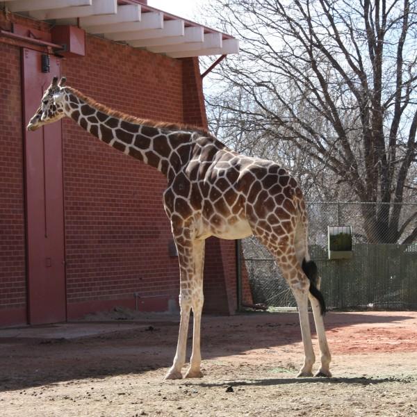 Giraffe at the Zoo - free high resolution photo