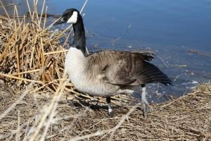 Goose with Injured Leg - Free High Resolution Photo