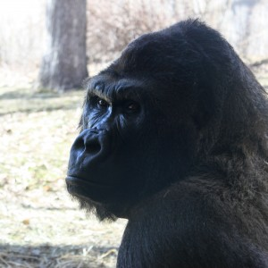 Gorilla Close Up - Free High Resolution Photo