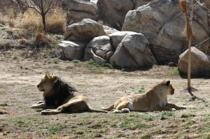 Lion Couple Refusing to Look at Each Other - Free High Resolution Photo