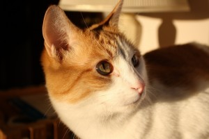 Orange and White Kitty Close Up - Free High Resolution Photo