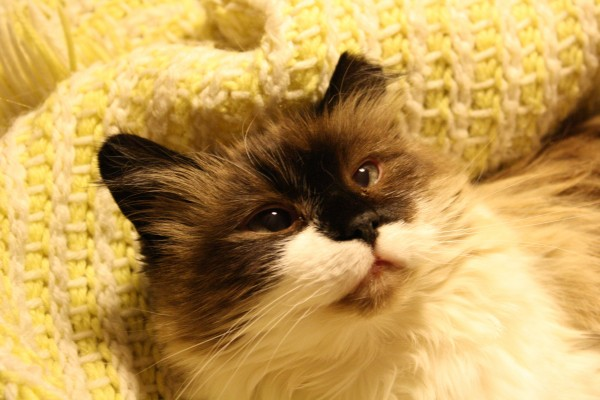 Ragdoll Cat with Cropped Ear - Free High Resolution Photo