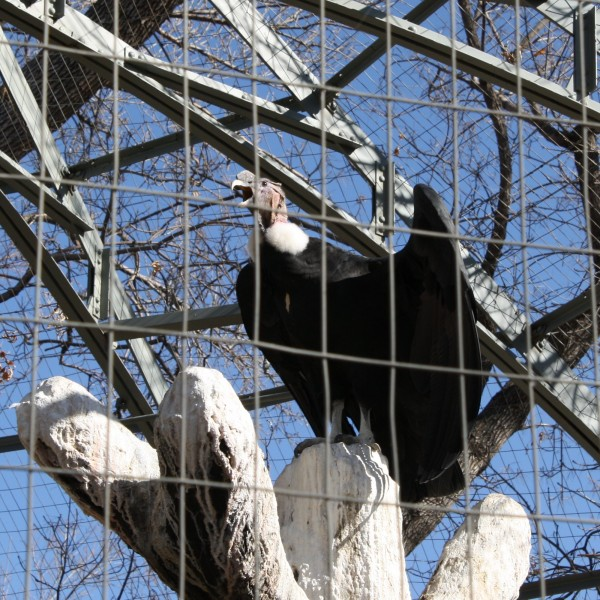 Vulture in a Cage - Free High Resolution Photo