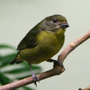 Yellow Violaceaous Euphonia Bird - Free Photo