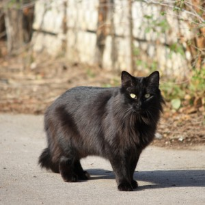 Black Longhaired Cat - Free High Resolution Photo
