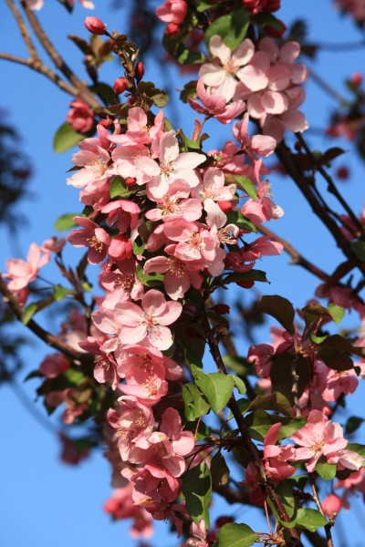 Branch Covered with Pink Crabapple Blossoms - Free High Resolution Photo