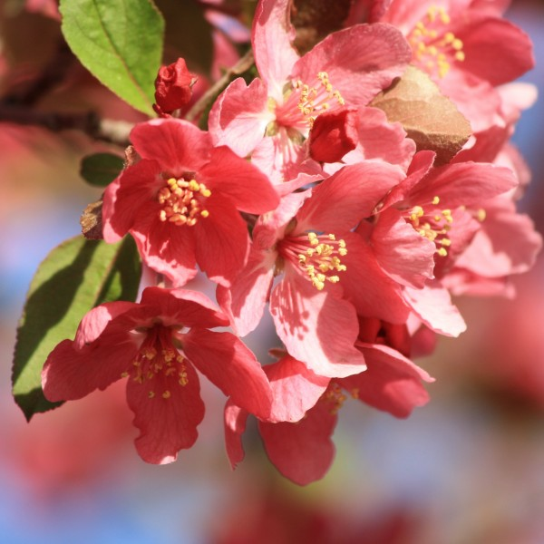 Cluster of Light Red Blossoms - Free High Resolution Photo