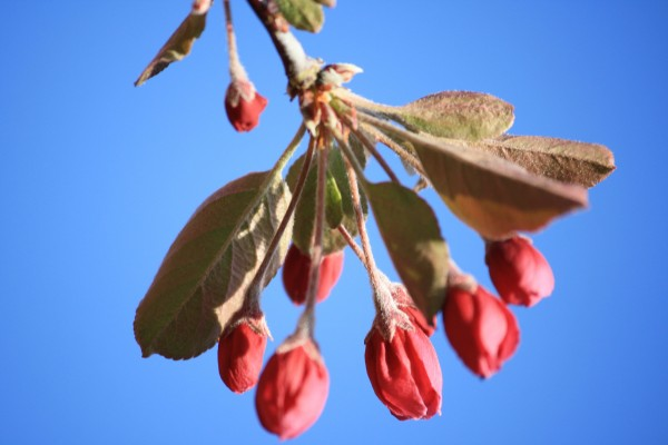 Crabapple Flower Buds - Free High Resolution Photo