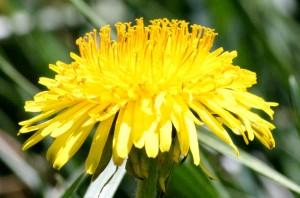 Dandelion Close Up - Free photo