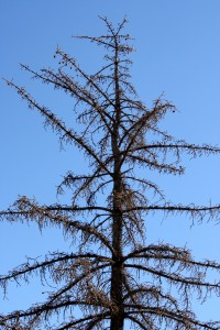Dead Pine Tree - Free high resolution photo