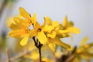 Forsythia Blossoms - Free high resolution photo