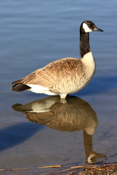 Goose Standing in Water - Free High Resolution Photo