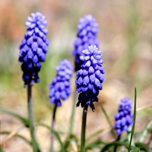 Grape Hyacinth - Free High Resolution Photo
