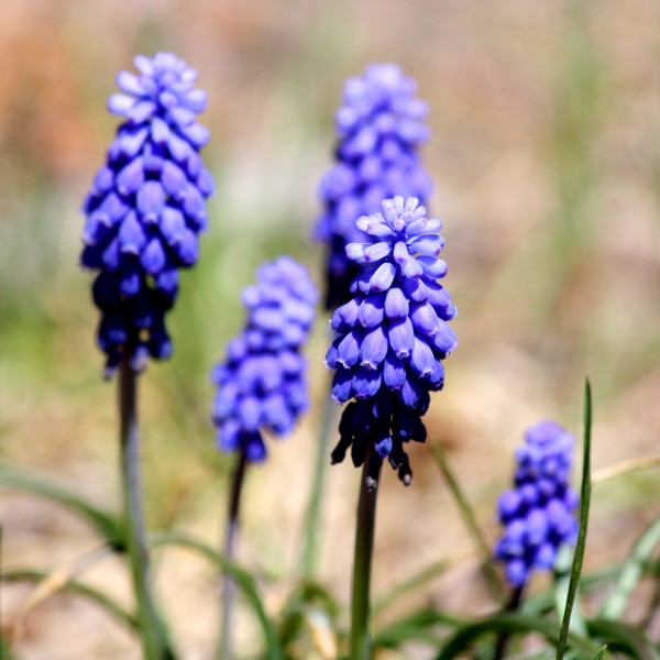 Grape Hyacinth - Free High Resolution Photo