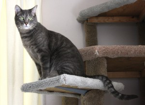 Gray Tabby Cat Perched on Kitty Climbing Tree - Free High Resolution Photo