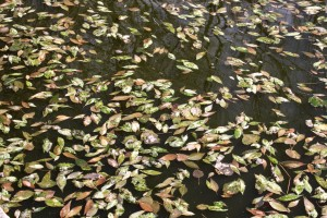 Leaves Floating on Water Texture - Free High Resolution Photo