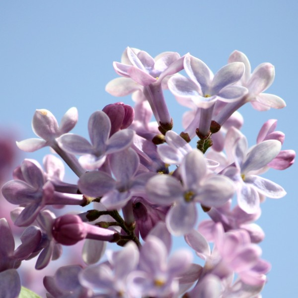 Lilac Close Up - Free High Resolution Photo