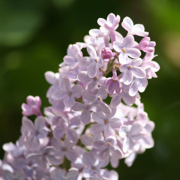 Lilacs - Free high resolution photo