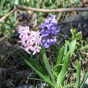 Pink and Purple Hyacinth Flowers - Free High Resolution photo