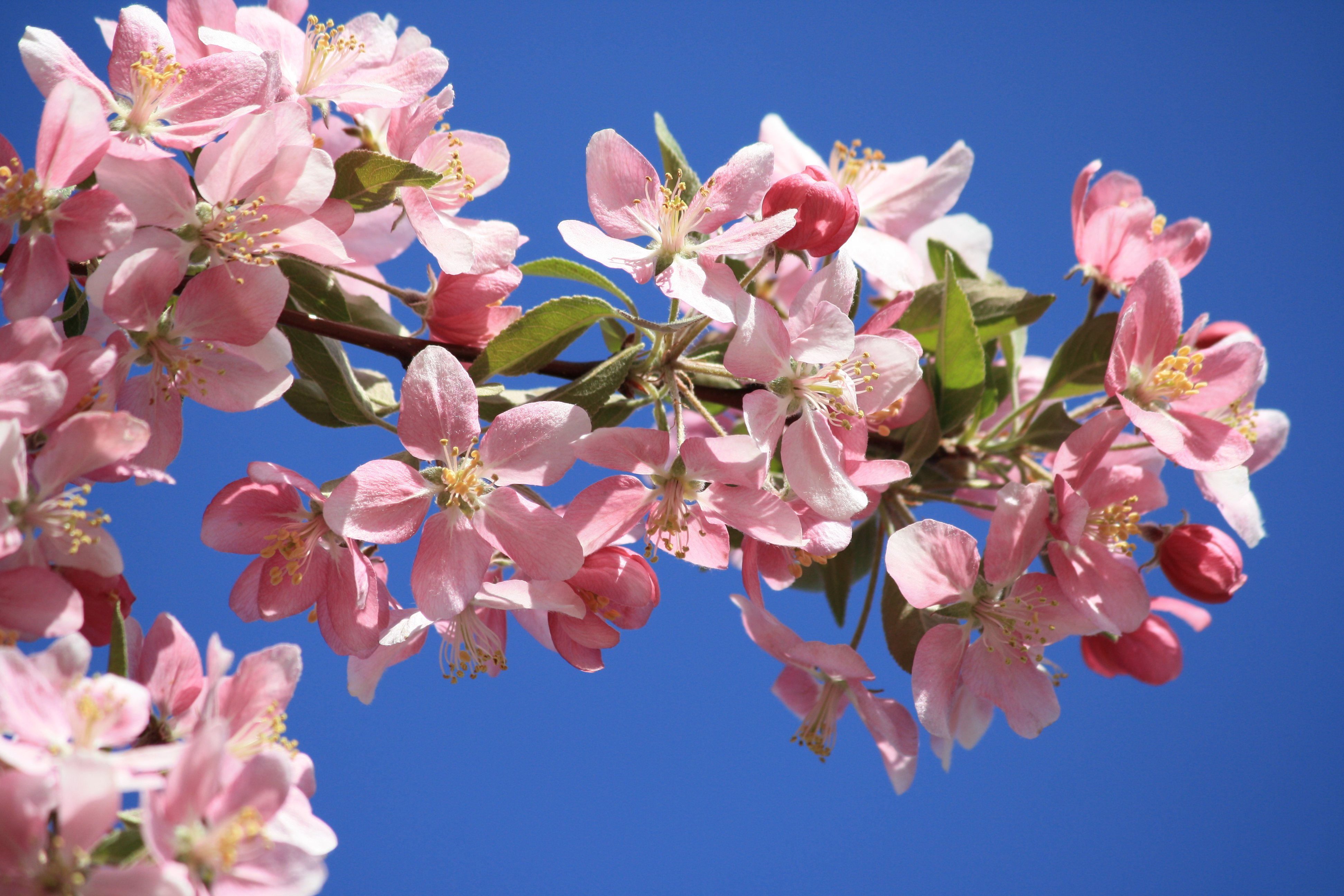Pink Blossoms On Crabapple Tree Picture Free Photograph Photos