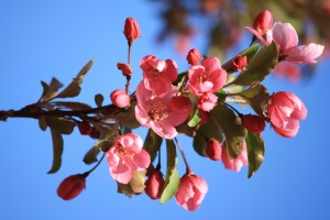 Pink Buds and Blossoms - Free High Resolution Photo