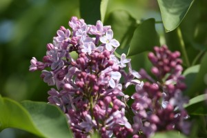Purple Lilac Flowers and Buds - Free High Resolution Photo