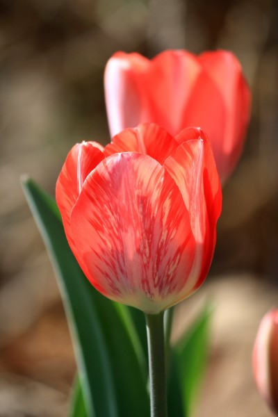 Red and White Striped Tulip Variegated