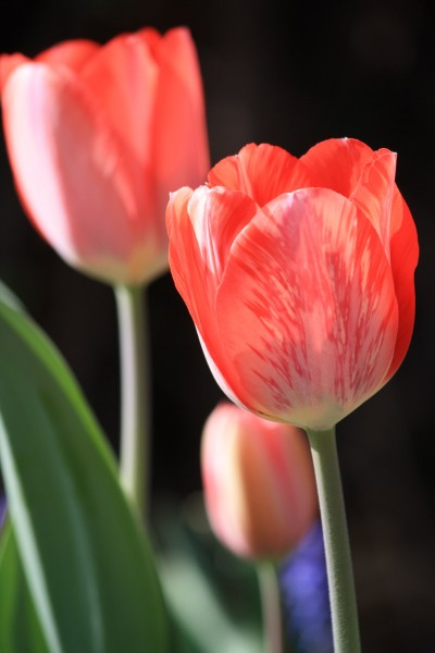 Red Striped or Variegated Tulip - Free High Resolution Photo