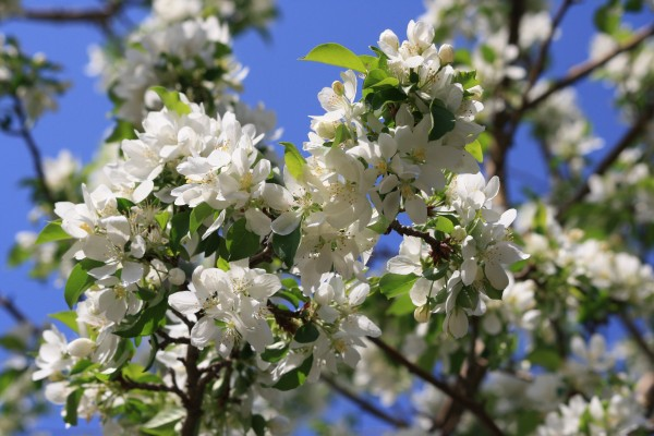 Spring Crabapple Blossoms - White - Free High Resolution Photo