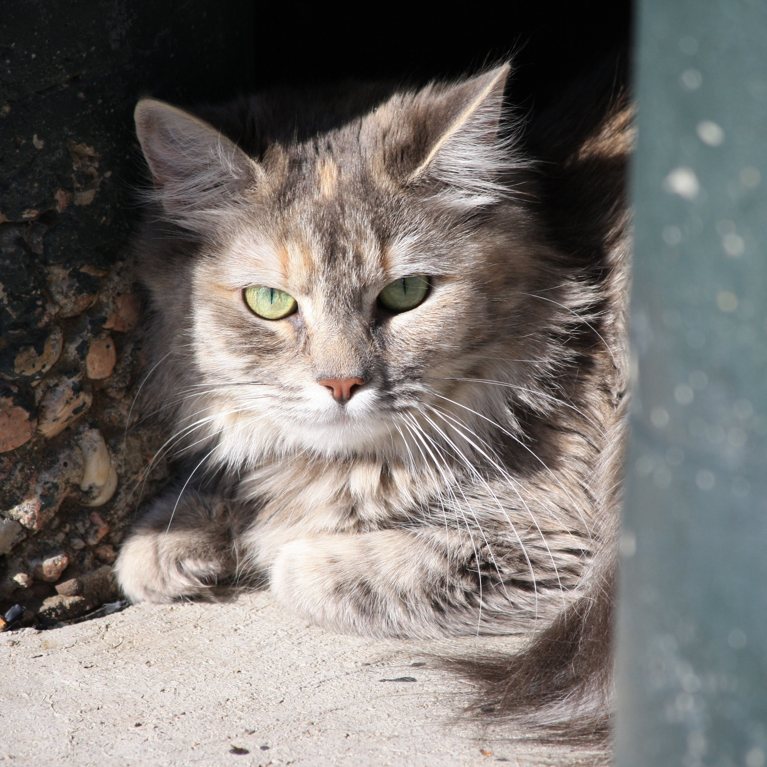 Tabby Cat With Long Fur Picture Free Photograph Photos