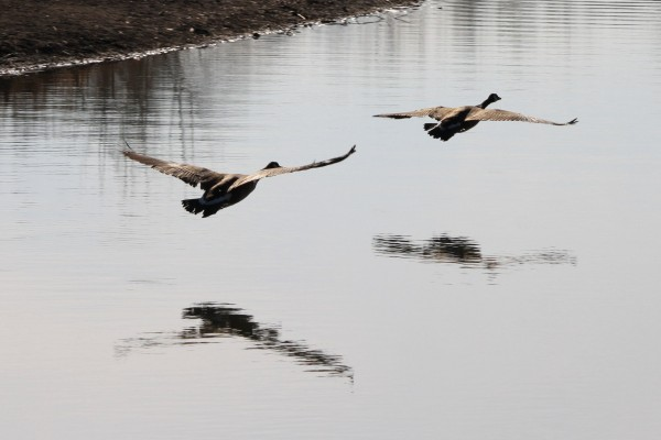 Two Geese Flying Low Over Water - Free High Resolution Photo