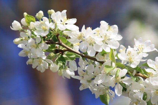 White Crabapple Blossoms - Free high resolution photo