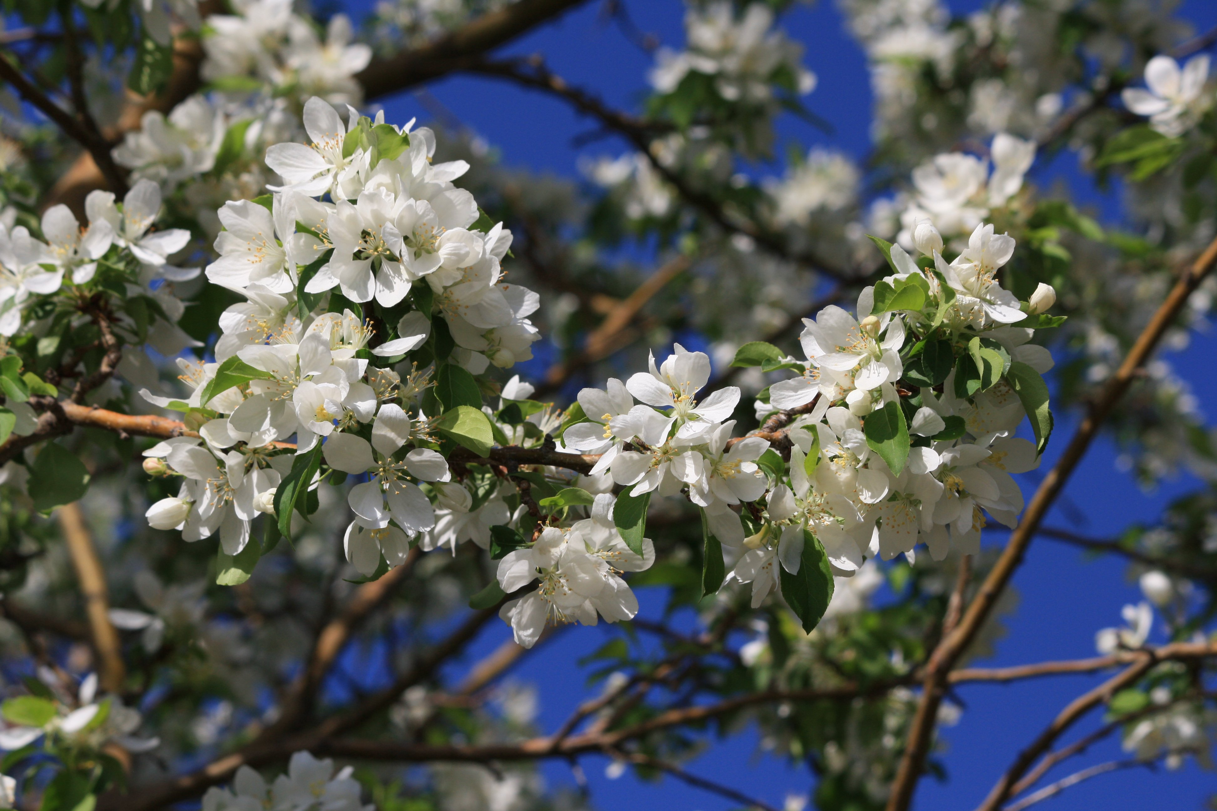 White Flowers On Crabapple Tree Picture Free Photograph Photos