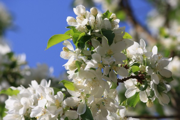 White Spring Blossoms - Free high resolution photo