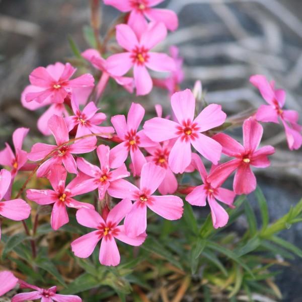 Creeping Phlox Pink Flowers - Free High Resolution Photo