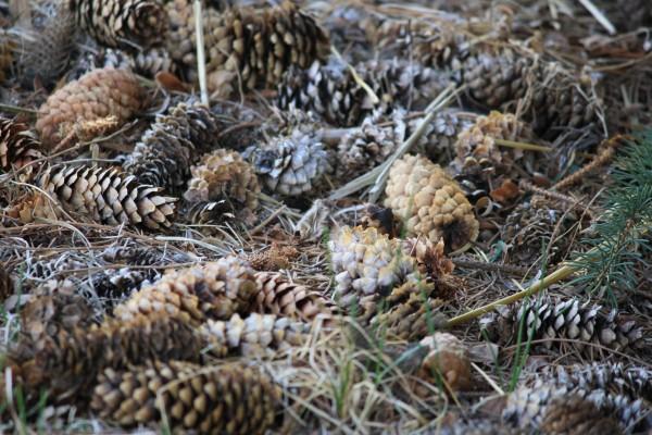 Pine Cones - free high resolution photo