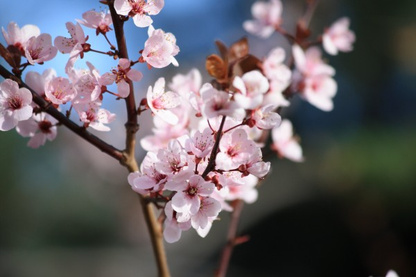 Pink Blossoms on Plum Tree - Free High Resolution Photo