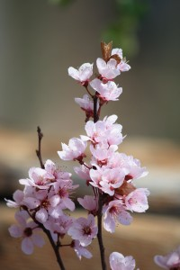 Plum Blossoms - Free High Resolution Photo