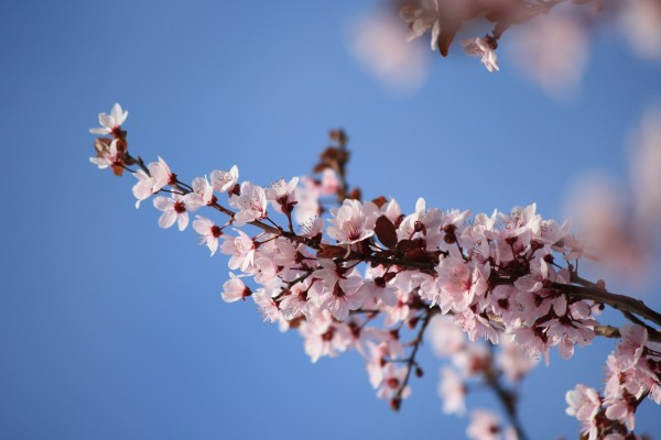 Sprig of Pink Plum Blossoms - Free High Resolution Photo
